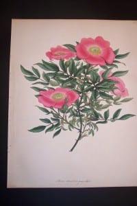 Andrews Exquisite Rose Engraving 86. Rosa Carolina.
