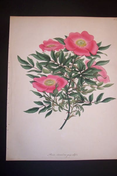 Andrews Exquisite Rose Engraving 86. Rosa Carolina.