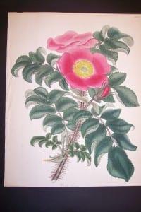 Andrews Exquisite Rose Engraving 87. Rosa Ferox.