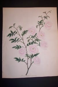 Andrews Exquisite Rose Engraving 88. Rosa Canina.