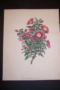 Andrews Exquisite Rose Engraving 89. Rosa Spinosefsima.