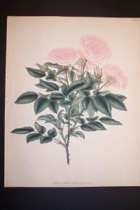 Andrews Exquisite Rose Engraving 90. Rosa Bella Donna.