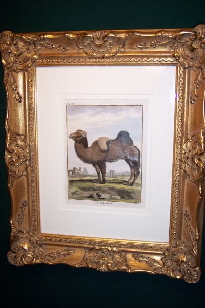 Buffon hand colored Camel Framed