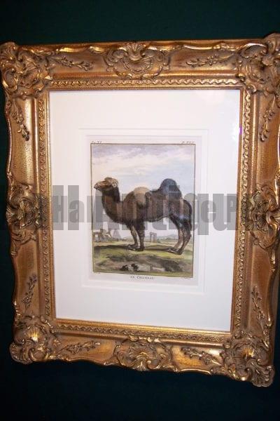 Buffon hand colored Camel Framed