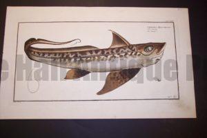 Bloch Fish Pl. CXXIV Chimaera Monstrosa La Chimere $500. .