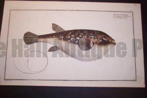 Bloch Fish Pl. CXLIII Tetrodon Honckenu Herifson Tigre $500.