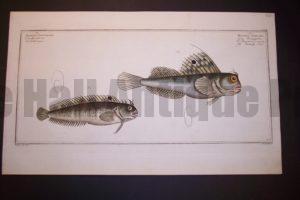 Bloch Fish Pl. CLXVII Blennnius Ocellaris Butterfly Fish $400.