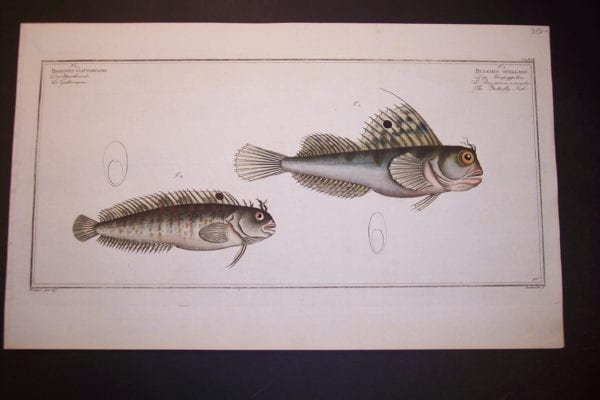 Bloch Fish Pl. CLXVII