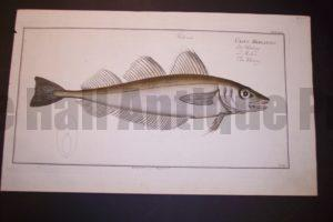 Bloch Fish Pl. LXV Gadus Merlangus The Whiting $400.