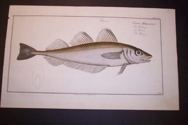 Gadus Merlangus The Whiting