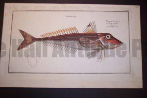 Bloch Fish Pl. LIX Trigla Cuculus Red Gurnard $450.