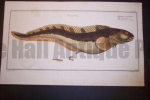Bloch Fish Pl. LXXII Blennnius Viviparus Viviparous Blenny $500.