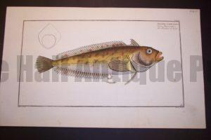 Bloch Fish Pl. CLXVIII Blennius Superciliosus Pierce Pierre $450.
