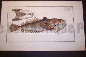 Bloch Fish Pl. CLXIII Uranoscopus Scaber Star Gazer $450.