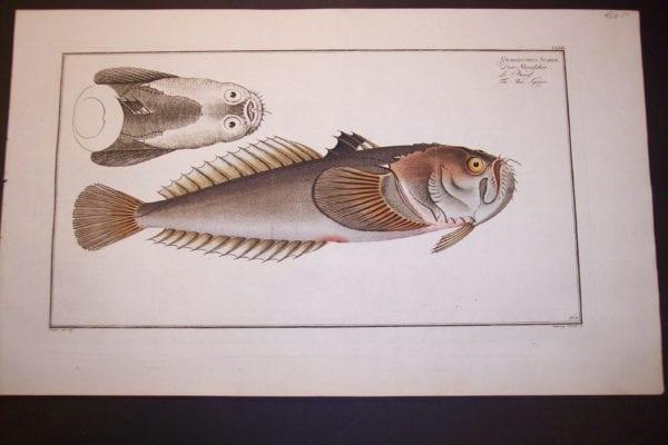 Bloch Fish Pl. CLXIV