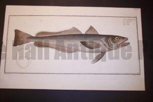 Bloch Fish Pl. CLXIV Gadus Merluccius The Hake $450.