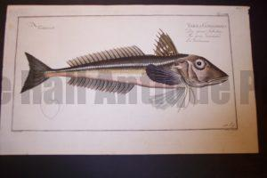 Bloch Fish Pl. LVIII Trigla Gurnardus Grey Gunard $500.