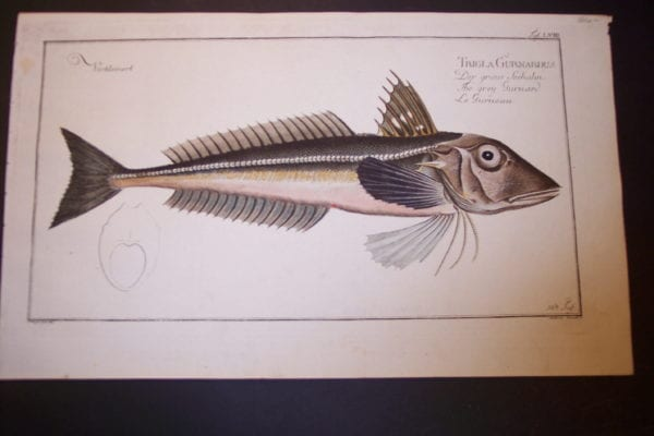 Bloch Fish Pl. LVIII