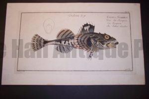 Bloch Fish Pl. XL Cottus Scorpius Father Lascher $450.