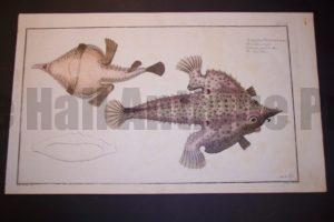 Bloch Fish Pl. CX Lophius Vespertilio The Sea Bat  $750.