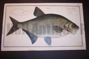 Bloch Fish Pl. XIII Cyprinus Brama The Bream $450.