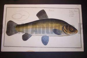 Bloch Fish Pl. XIV Cyprinus Tinga The Tench $350.
