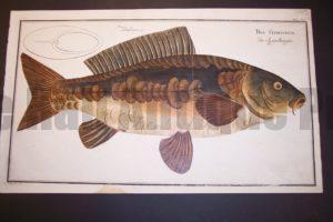 Bloch Fish Pl. XVII Rex Cyprinorum Der Spiegelkarpfen $450.