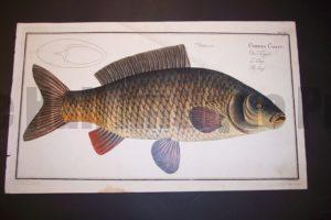 Bloch Fish Pl. XVI Cyprinus Carpio The Carp $450.
