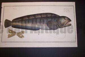 Bloch Fish Pl. LXXIV Anarhichas Lupus Wolf Fish  $600.