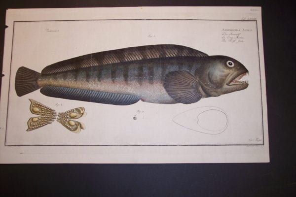 Bloch Wolf Fish Engraving