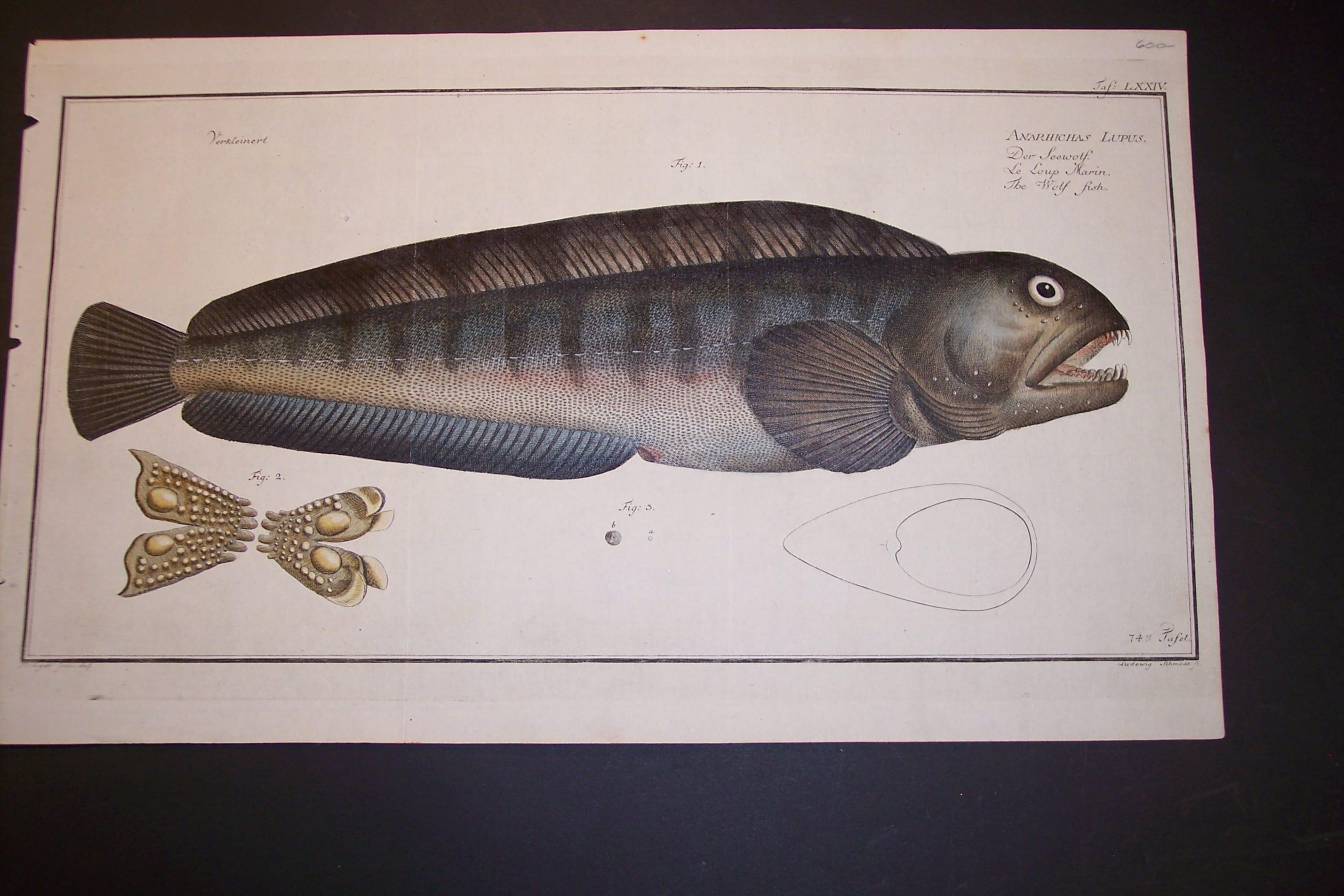 Bloch Wolf Fish Engraving Pl. LXXIV