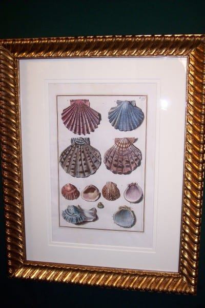 Shell Engravings Framed Gualtiere