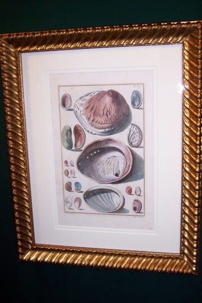 Shell Engraving Old Hand Colored Framed Gualtieri