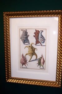 Shell Engraving Hand Colored Framed Gualtiere