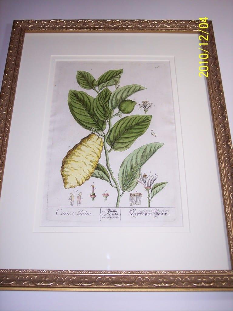 Lemons Hand Colored E Blackwell. Citria Malus