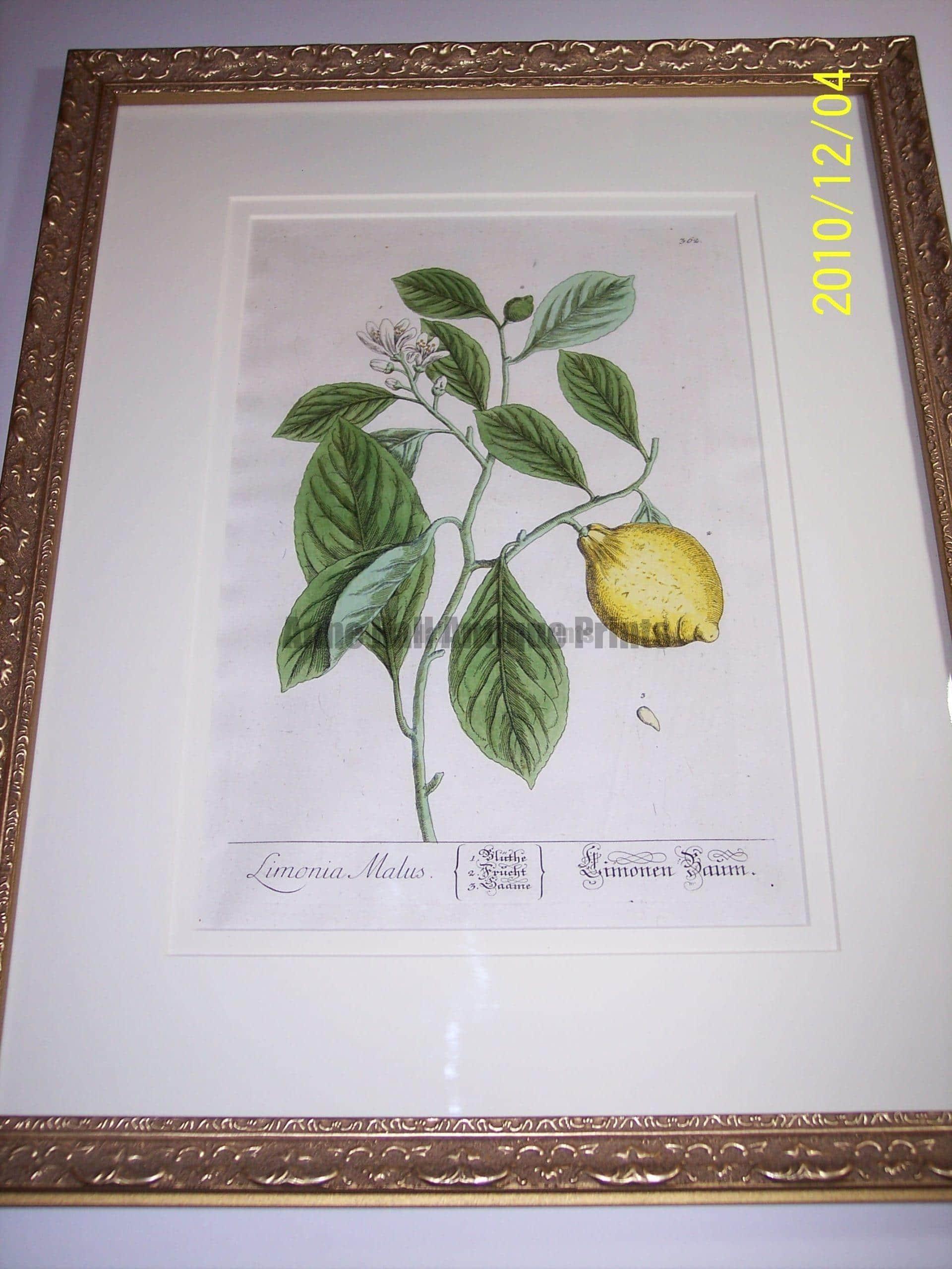 Lemons Hand Colored Blackwell. Physician's manual. Limonia Malus.