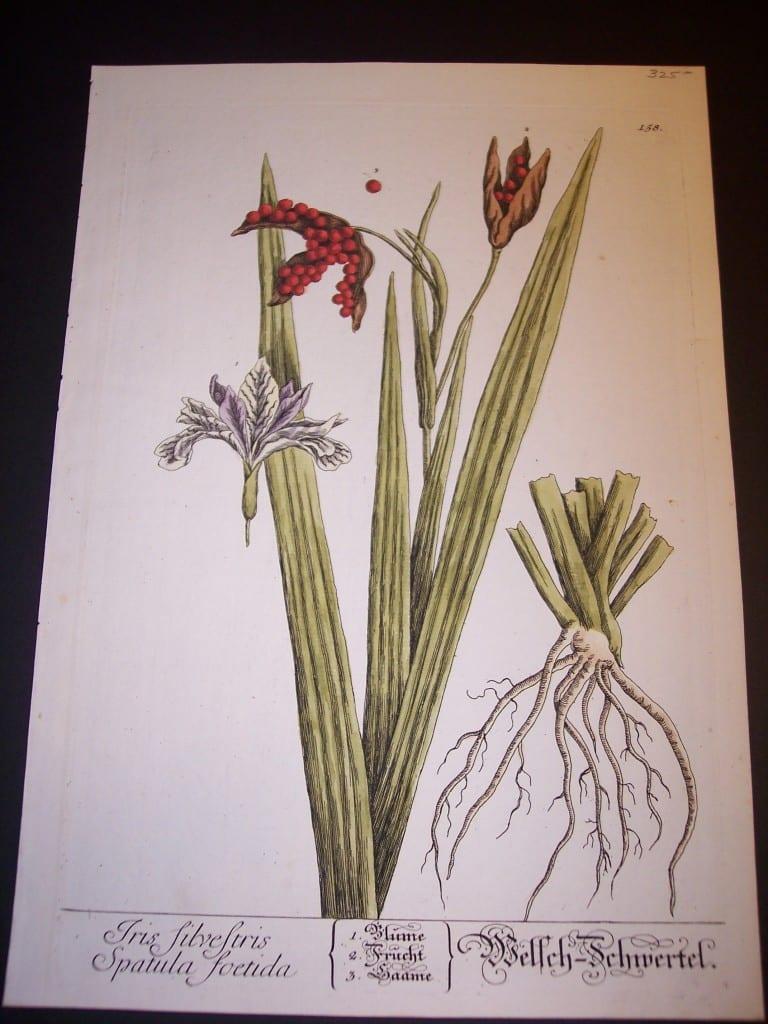 Elizabeth Blackwell Iris Silvestris Spatula Foetida Print PL 158 c.1750