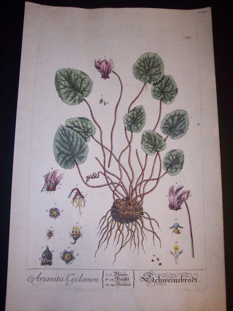 Elizabeth Blackwell Artanita Cyclamen Print PL 147 c.1750 200.