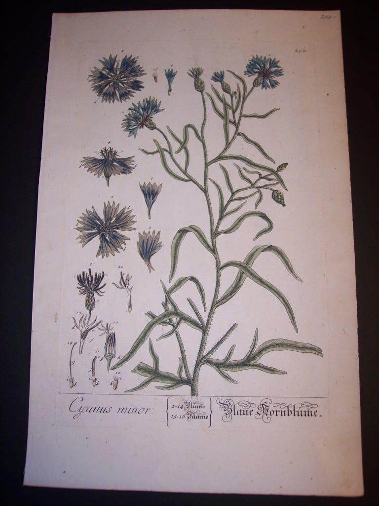 Elizabeth Blackwell Cyanus minor print PL 270 c.1750 150.
