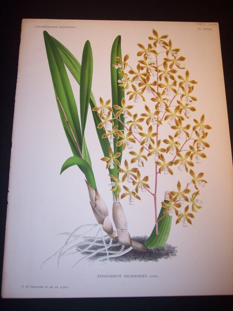 Orchid Print by Linden