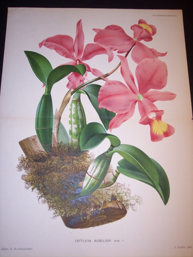 Orchids Print by Linden