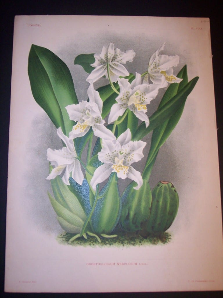 Lindenia Orchid Print 5722