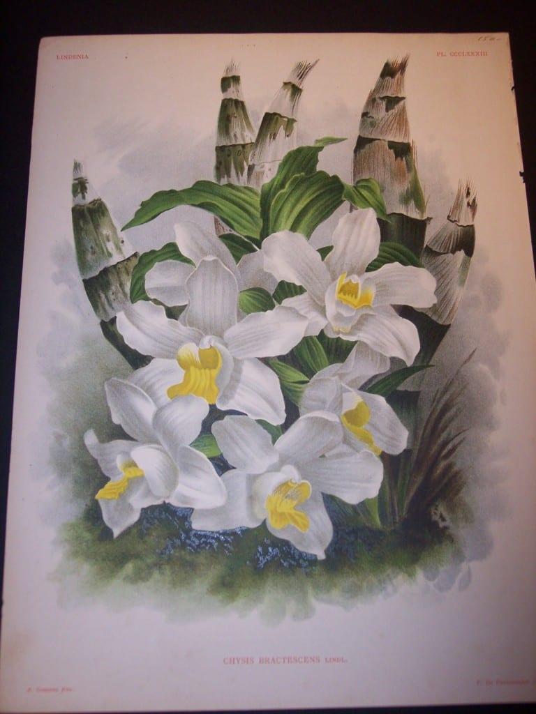 Lindenia Orchid Print 5724