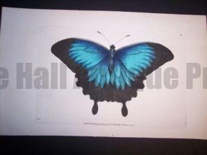 Outstanding hand colored butterfly engraving by Nodder