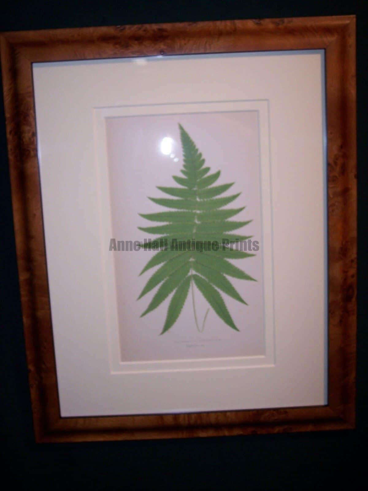 decorative framed ferns, antique lithographs