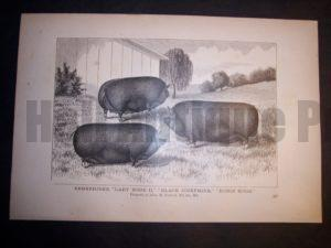 """6101 Old print of pigs. Wood Engraving of pigs c.1860 measuring about 9x12"""" 85."""