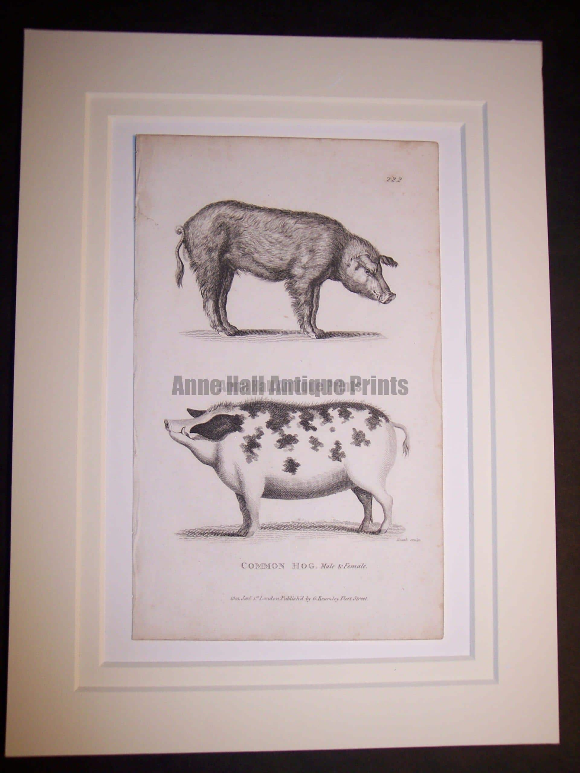6102 Antique print of pigs from c.1800.