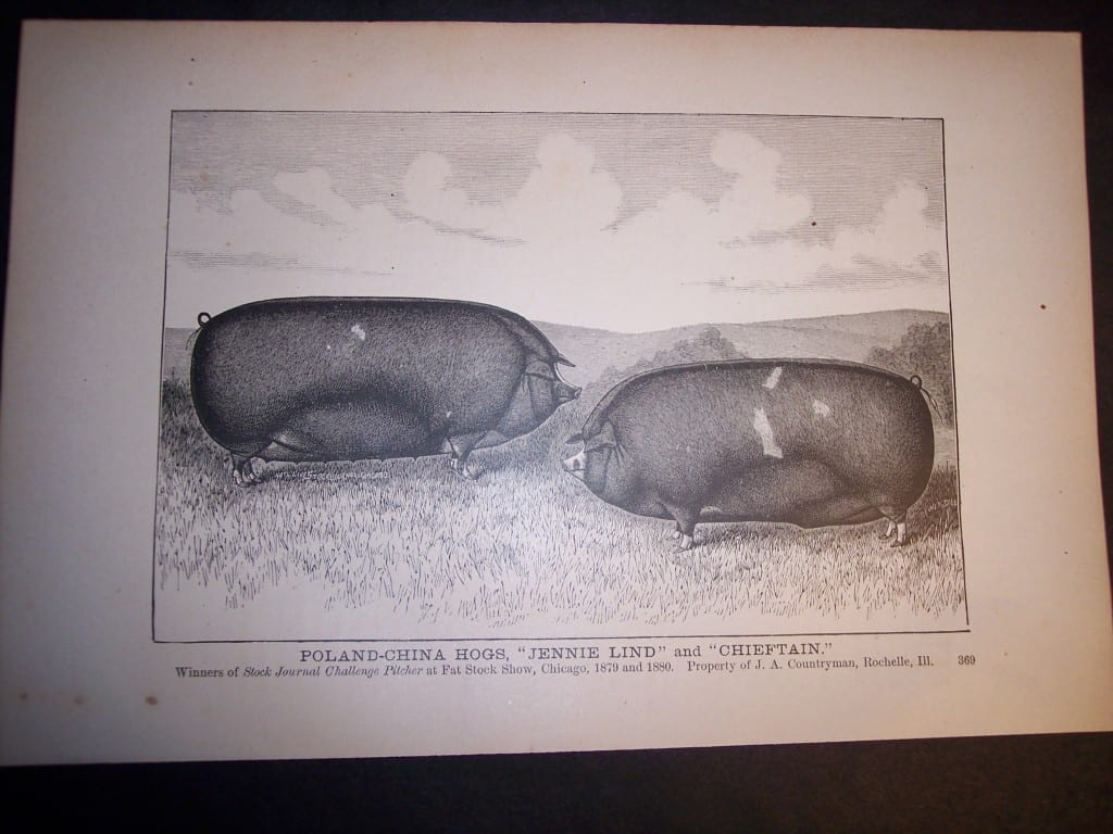 6103 Old print of pigs.