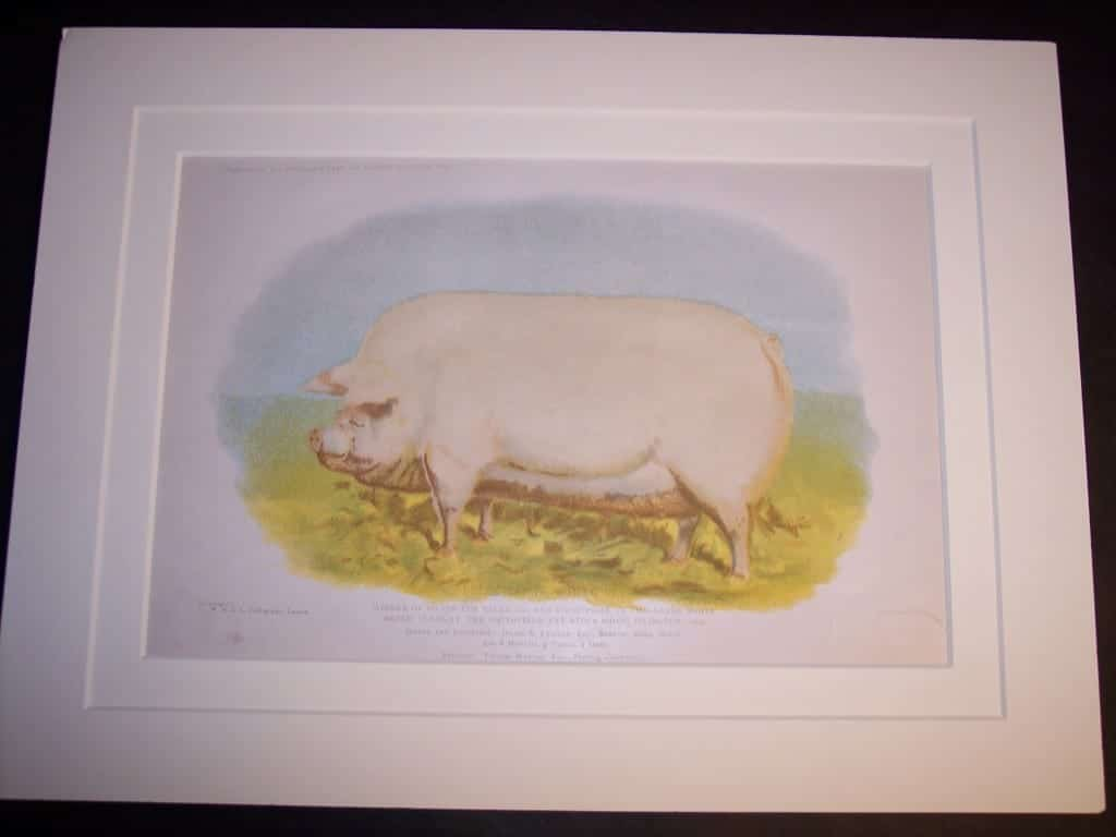 Antique Pig Print