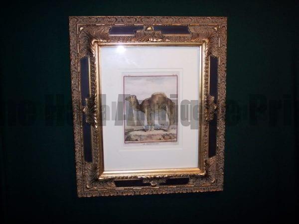 Framed Buffon Camel Engraving